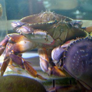 Crab for the Cranium